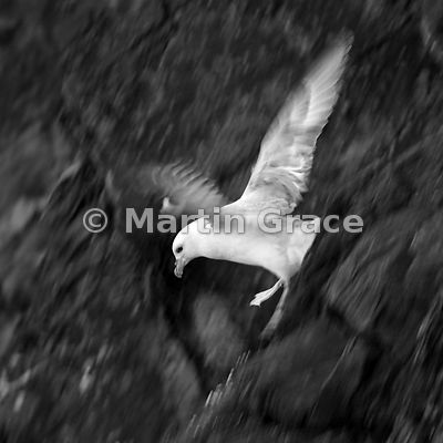 Northern Fulmar (Fulmarus glacialis) in flight, Sumburgh Head, Mainland South, Shetland, Scotland: edited B&W conversion of previous image