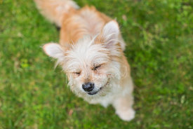 Smiling and blinking terrier dog looking up from grass