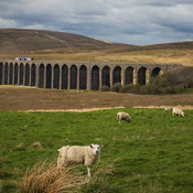 Sheep in pasture with Ribblehead viaduct in background, Yorkshire Dales National Park, England, United Kingdom