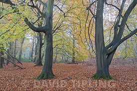 Autumn colour in Beech Woodland on misty day nr Holt North Norfolk
