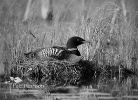 Nesting Loon in Black and White