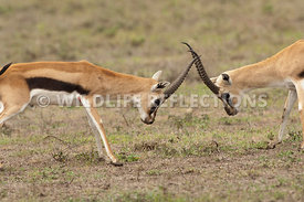 thomsons_gazelle_battle_41