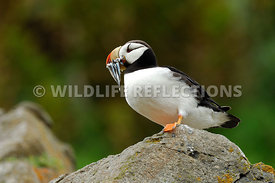 Horned Puffin With Fish Belly View 5