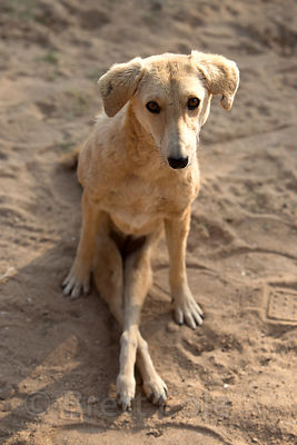 A dog with paralyzed hind quarters from being hit by a car, now living permanently at the Tree of Life for Animals rescue center (tolfa.org.uk) near Pushkar, Rajasthan, India