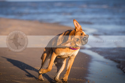 goofy cross breed dog shaking spraying on wet beach shore