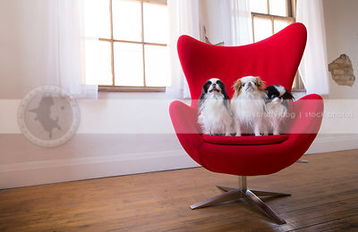 pack of three japanese chin dogs posing on egg chair indoors