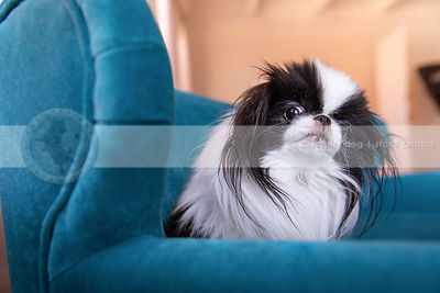curious little longhaired dog looking sideways from settee indoors