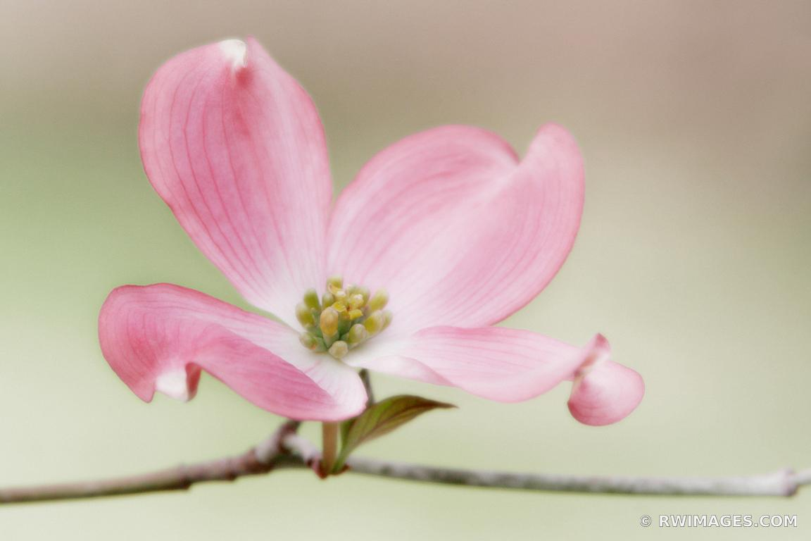 FLOWERING DOGWOOD SMOKY MOUNTAINS SPRING