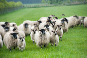 Dalesbred ewes with crossbred Masham lamb at foot, sired by a Teeswater ram. Yorkshire, UK.