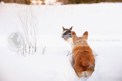 two corgis from behind running away in deep snow in winter