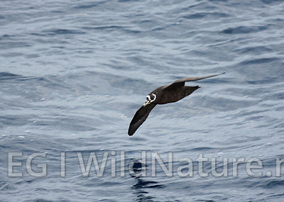 Spectacled petrel - South Atlantic