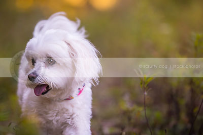 beautiful little white dog looking away with minimal background