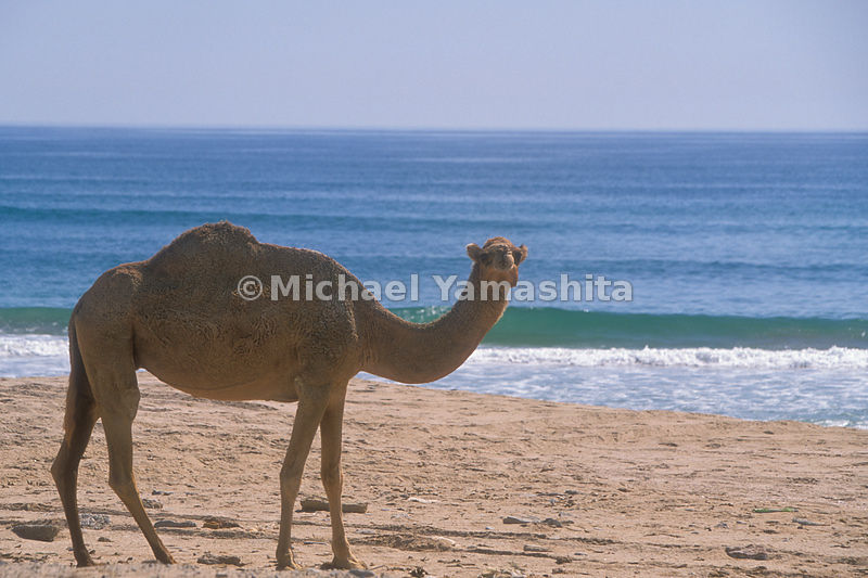 A camel on the beach. Sur, Oman.