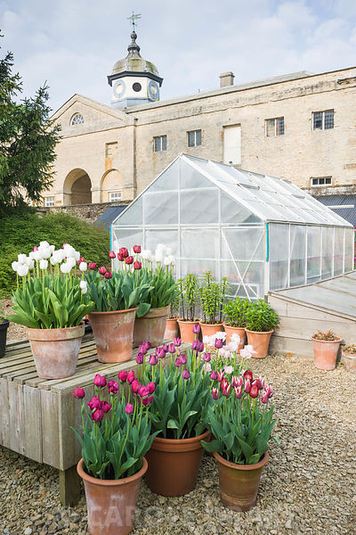 Pots of purple, red, pink and white tulips in the gardeners' yard include Tulipa 'Angelique', T. 'Abigail', and deep red T. 'Uncle Tom'. Rousham House, Bicester, Oxon, UK