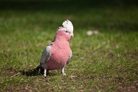 A Galah foraging for food on the ground