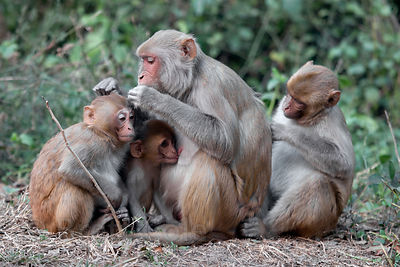 Wild Rhesus Macaque (Macaca mulatta), Keoladeo National Park, Bharatpur, India