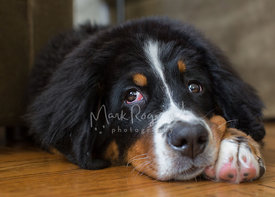 Close-up of Bernese Mountain Dog Puppy Looking Up