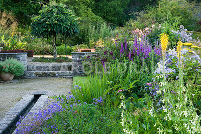 Yellow kniphofias and achillea amongst pale Nepeta govaniana, purple loosestrife, Lythrum salicaria and Clematis 'Prince Charles' in border beside stone edged rill. Standard wisteria beyond. The Cider House, Buckland Abbey, Yelverton, Devon, UK
