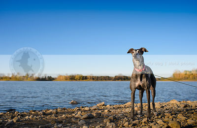 alert grey dog standing at lake shore beach with minimal background