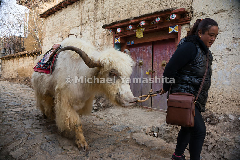 A yak follows its owner along a street in Shangri-La. Locals use yaks for transport and as a source of wool, milk, butter, and meat.