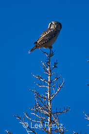 Northern Hawk Owl (Surnia ulula) hunting from atop one of the fire-killed subalpine conifers of Meadows Campground during one of the species' rare irruption visits to Washington State, Okanogan National Forest, North Cascade Mountains, USA, October, 2008_WA_6519