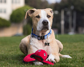 Tan and White Pitbull Mix with Paw on Lobster Toy