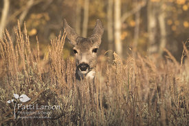 Mule Deer Peeking Through the Weeds