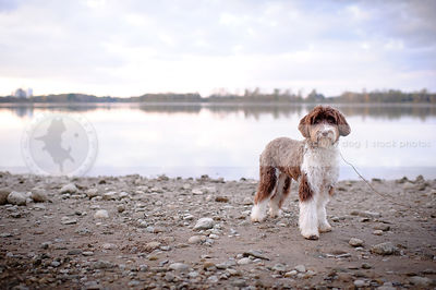 brown and white portuguese water dog standing on beach