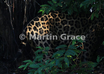 A shaft of sunlight illuminates part of a male Jaguar (Panthera onca) known as Marley, River Cuiabá, Northern Pantanal, Mato Grosso, Brazil