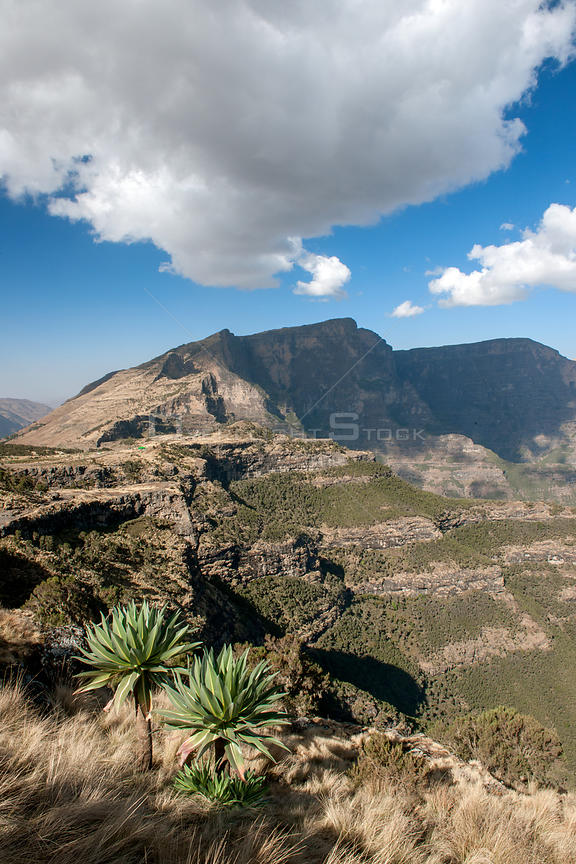 Expansive view of Simien Mountains National Park  including the Giant lobelia (Lobelia rhynchopetalum)  Semien Gondar Zone, Amhara Region, Ethiopia, Marc 2009.. Endemic.