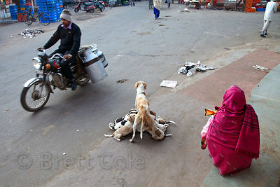 Mother dog nursing several puppies on the street in Udaipur, Rajasthan, India