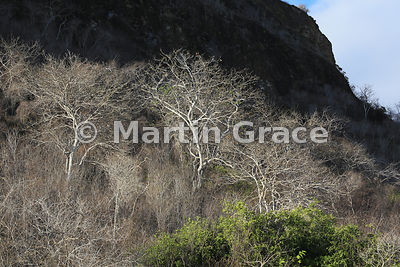 Palo Santo Tree (Incense Tree) (Bursera graveolens), white during the dry season, Cerro Brujo, San Cristobal, Galapagos