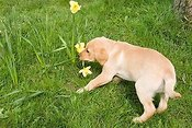 Golden labrador puppy playing with daffodil
