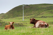 Luing cow and calf laid in field with a wind turbine in the background, Isle of Luing, Scotland, UK.