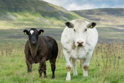 Pedigree British Blue cow and calf in upland pasture in the Yorkshire Dales, UK.