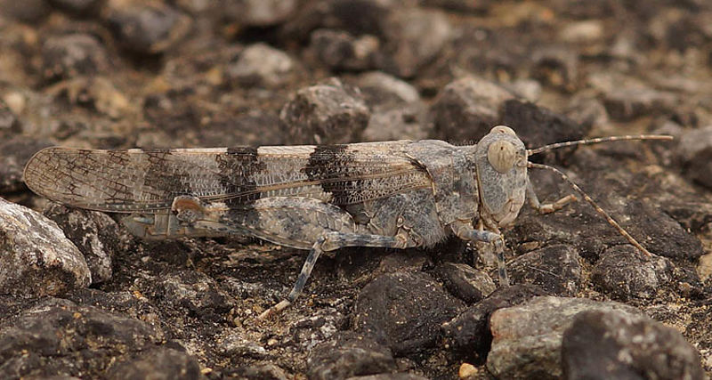 Acrididae - Veldsprinkhanen - Short-horned Grasshoppers photos