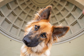 Close-up of German Shepherd Mix Dog Tilting Head in Front of Coffered Domed Bandshell