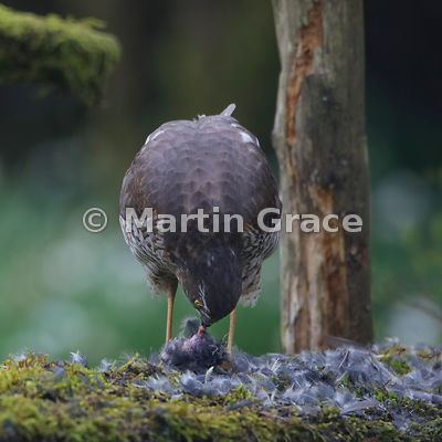 Eurasian Sparrowhawk (Accipiter nisus) feeding on a Coal Tit (Periparus ater) it has just caught, Lyth Valley, Cumbria, England: Image 4 of 4