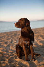 Brown chocolate labrador retriever on beach at sunset