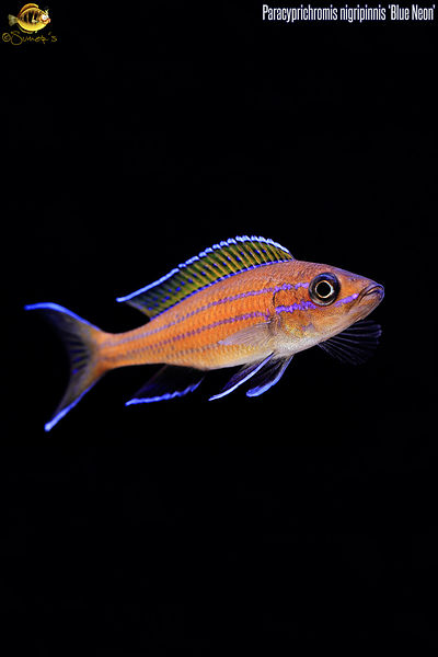 Paracyprichromis_nigripinnis_for_cellphones