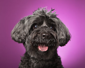 Smiling black schnauzer mix smiling against a purple studio backdrop