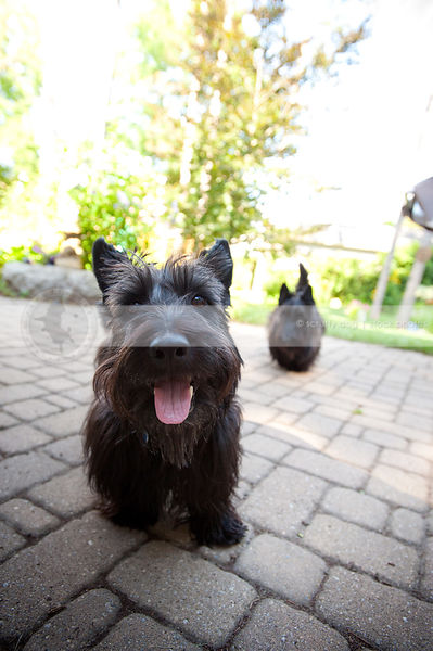 two happy black scottie dogs standing on brick patio in yard