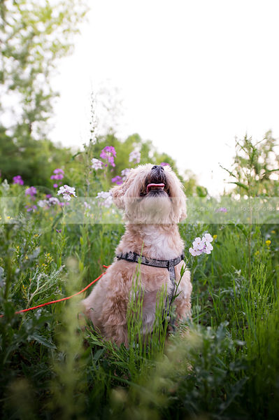 small tan dog looking skyward in meadow with purple flowers