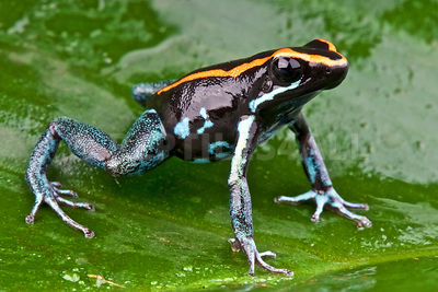 Lovely poison frog (Phyllobates lugubris) photos