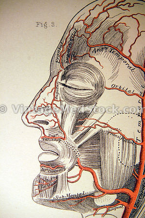 Muscles and Veins of Human Face