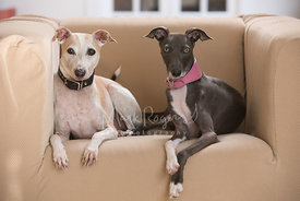 Two Italian Greyhounds Sitting on a Chair