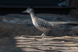 Roadrunner-in-motion_(1_of_1)
