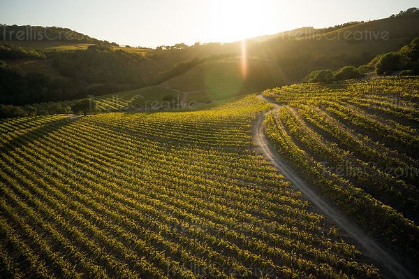 Aerial view of rows of lush green vines on the hillsides in Sonoma Valley