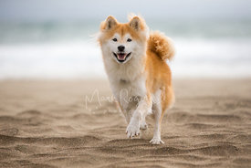 Shiba inu running on the sand