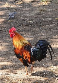 Rooster in Hawaii